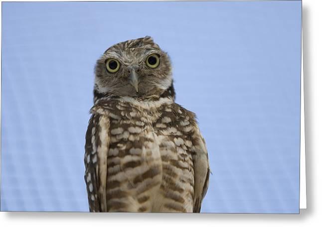 A Burrowing Owl Athene Cunicularia Greeting Card by Joel Sartore