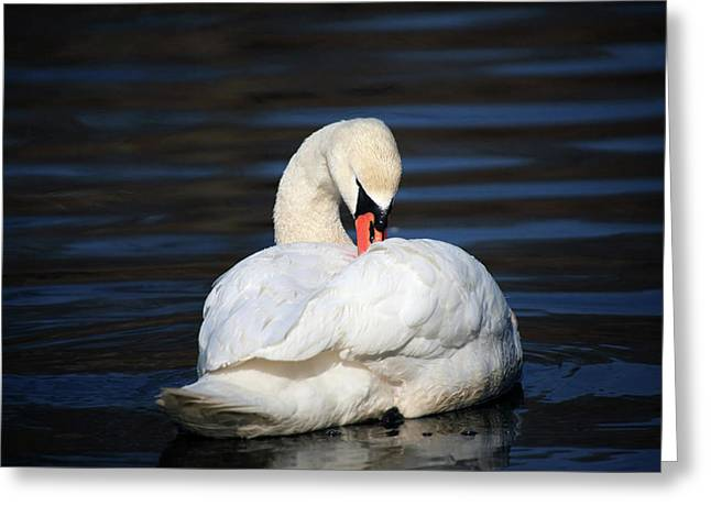 A Busy Swan Greeting Card