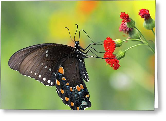 A Butterfly  Greeting Card