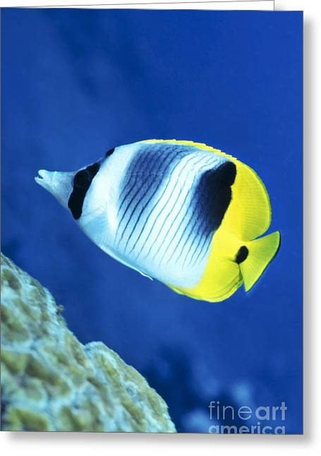 A Butterflyfish Swims Up Along A Coral Greeting Card by Michael Wood