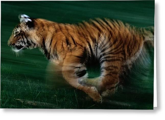 A Captive Young Tiger Runs Greeting Card