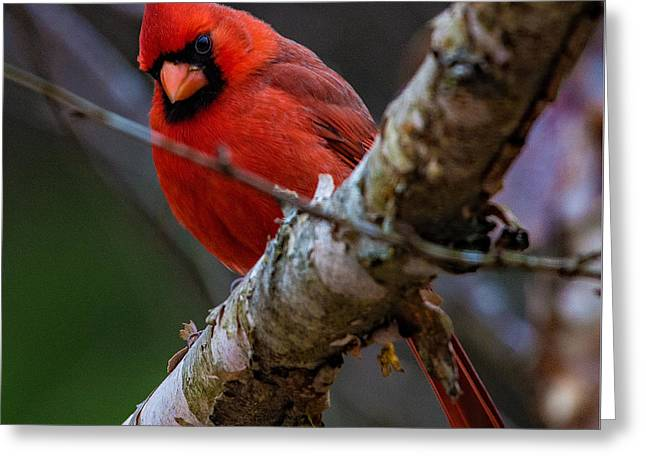 A Cardinal In Spring   Greeting Card