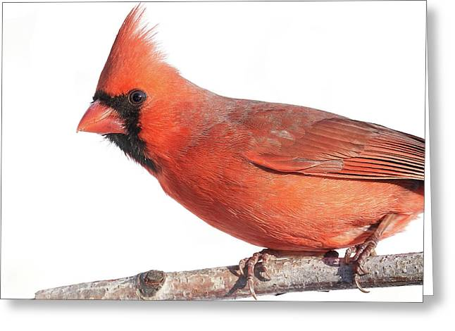 A Cardinal Says Good Morning Greeting Card