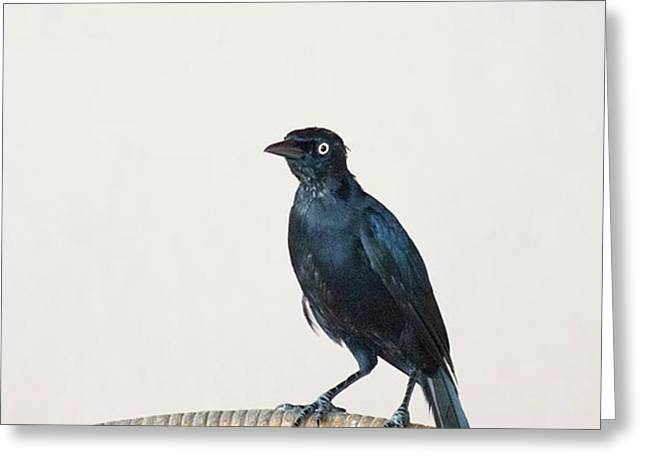 A Carib Grackle (quiscalus Lugubris) On Greeting Card