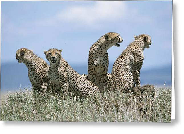 Serengeti Animal Greeting Cards - A Cheetah Family Greeting Card by David Pluth