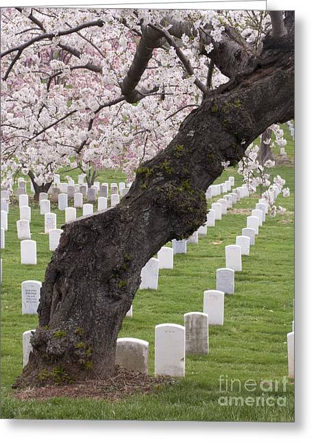 A Cherry Tree In Arlington National Cemetery Greeting Card by Tim Grams