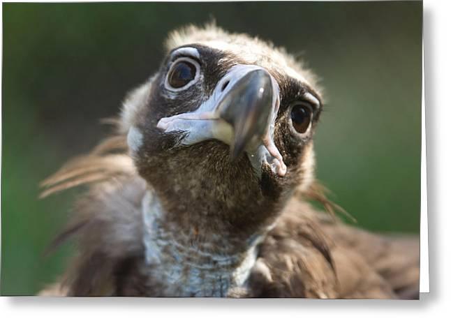 A Cinerous Vulture Aegypius Monachus Greeting Card