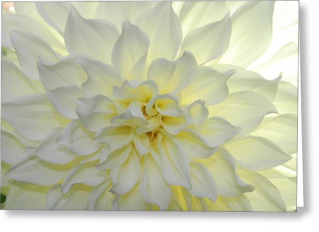 A Close Up Of A White Dahlia Flower Greeting Card by Raul Touzon