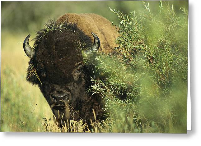 Northwest Territories Greeting Cards - A Close-up View Of An American Bison Greeting Card by Raymond Gehman
