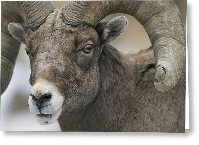 A Close View Of A Male Bighorn Sheep Greeting Card by Tom Murphy