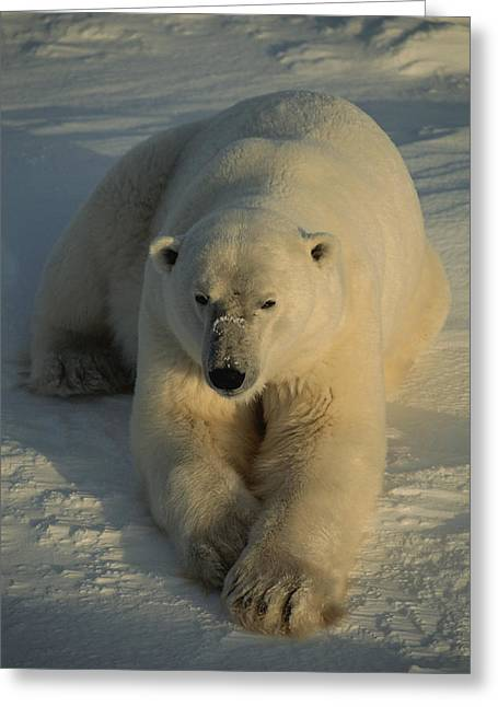 A Close View Of A Polar Bear Resting Greeting Card