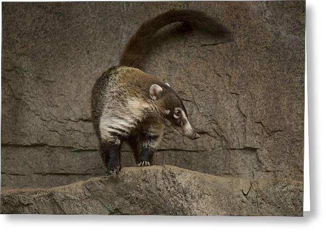 A Coatimundi At The Henry Doorly Zoo Greeting Card by Joel Sartore