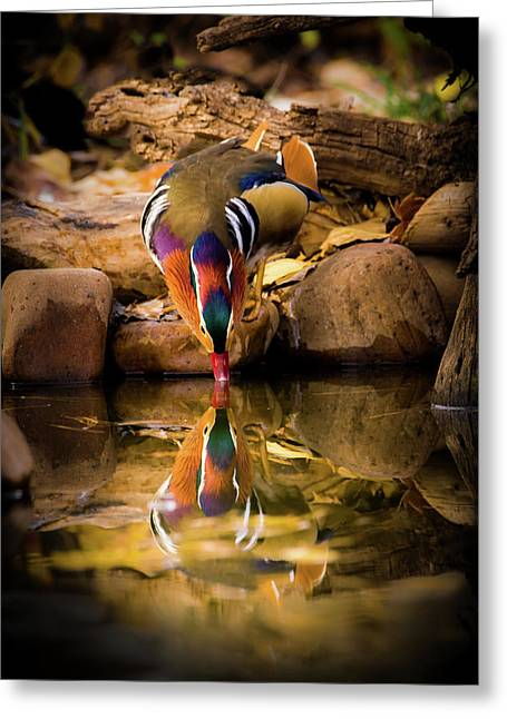 A Cold Drink - Mandarin Drake Greeting Card by TL Mair