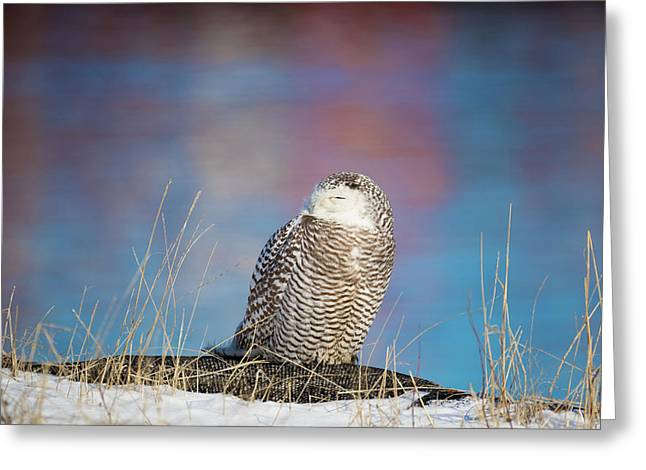 A Colorful Snowy Owl Greeting Card