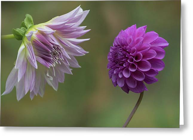 A Conversation Between Dahlias Greeting Card by Angie Vogel