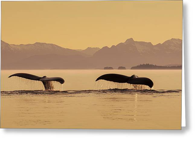 A Couple Of Humpback Whales Lift Greeting Card by John Hyde
