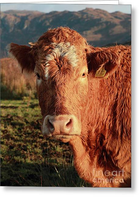 A Curious Red Cow Greeting Card