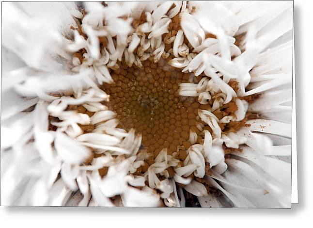 A Daisy Greeting Card by Bransen Devey