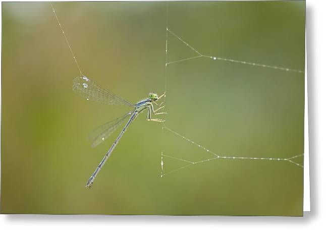 A Damselfly Is Caught In A Greeting Card