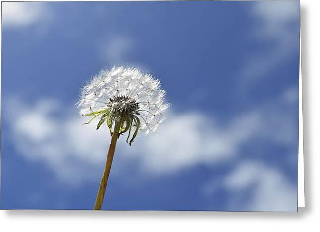 A Dandelion Flower Greeting Card by Alex King