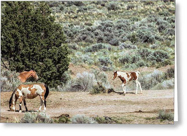 A Day In The Lives Of South Steens Wild Horses, No. 5 Greeting Card by Belinda Greb