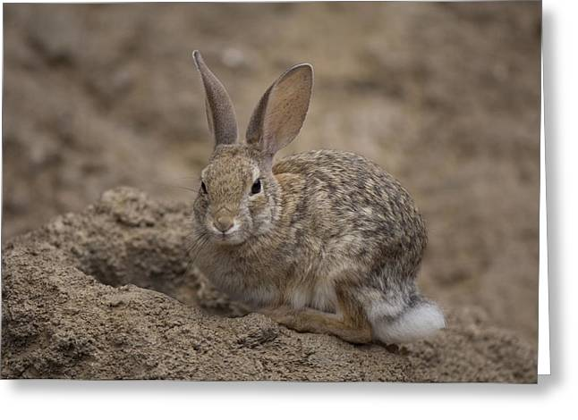 A Desert Cottontail Rabbit At The Henry Greeting Card by Joel Sartore