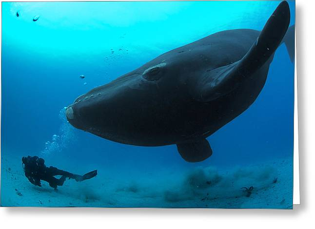 Refuges And Reserves Greeting Cards - A Diver Has A Close Encounter Wih Greeting Card by Brian J. Skerry