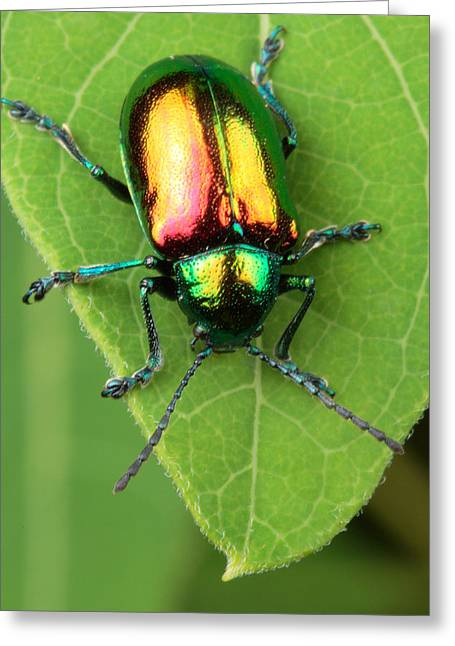 Iridescence Greeting Cards - A dogbane leaf beetle, Greeting Card by George Grall