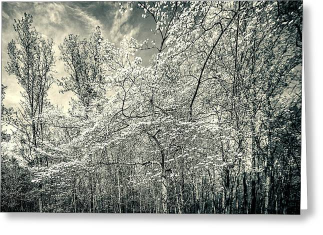 A Dogwood In The Springtime Woods Black And White Greeting Card by Mother Nature