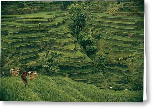 Farmers And Farming Greeting Cards - A Farmer Walks Past Terraced Rice Greeting Card by Donna K. & Gilbert M. Grosvenor