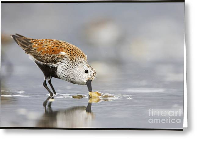 A Feeding Dunlin Greeting Card by Tim Grams