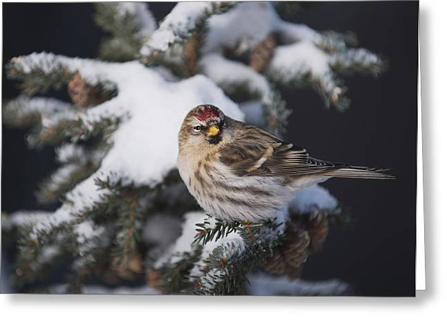A Female Common Redpoll  Carduelis Greeting Card by Greg Martin