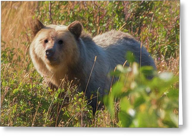 A  Female Grizzly Bear Looking Alertly At The Camera. Greeting Card