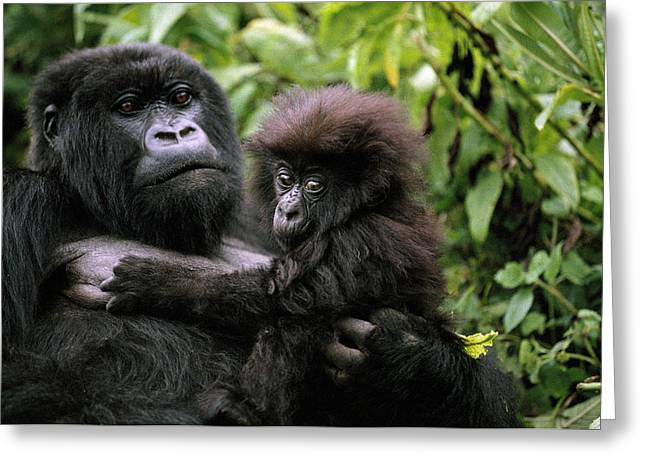 Juvenile Mammals Greeting Cards - A Female Mountain Gorilla And Her Child Greeting Card by Michael Nichols