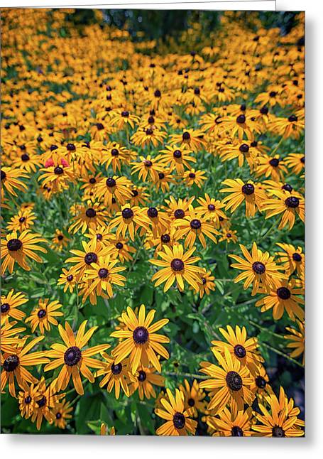 A Field Of Black-eyed-susans Greeting Card