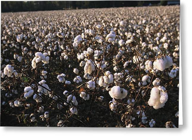 Farmers And Farming Greeting Cards - A Field Of Fluffy Cotton Plants Greeting Card by Medford Taylor