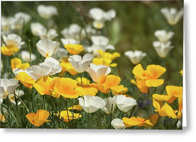 Greeting Card featuring the photograph A Field Of Golden And White Poppies  by Saija Lehtonen