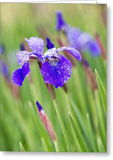 A Field Of Iris Greeting Card