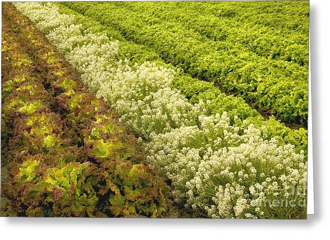 A Field Of Mixed Organic Lettuce Greeting Card by Inga Spence