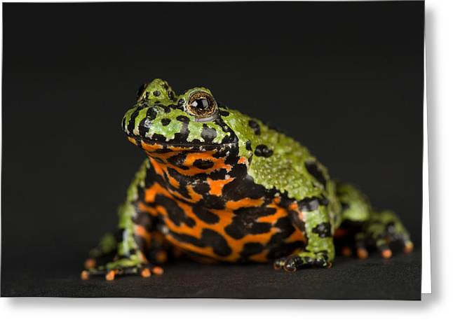 A Fire-bellied Toad Bombina Orientalis Greeting Card