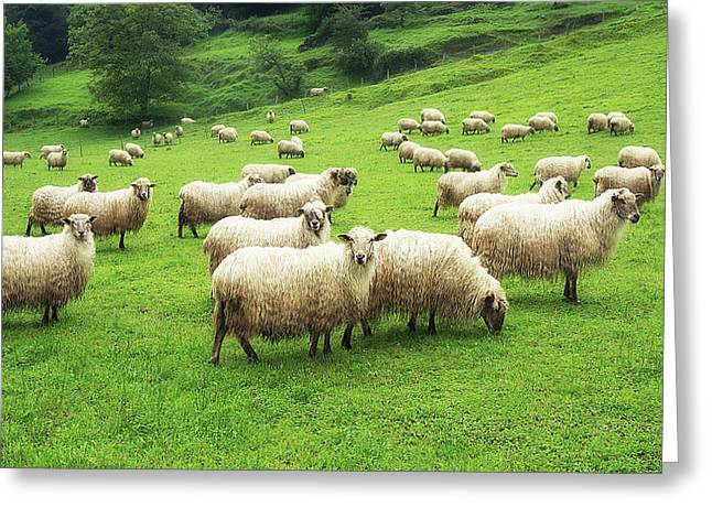 A Flock Of Sheep Greeting Card