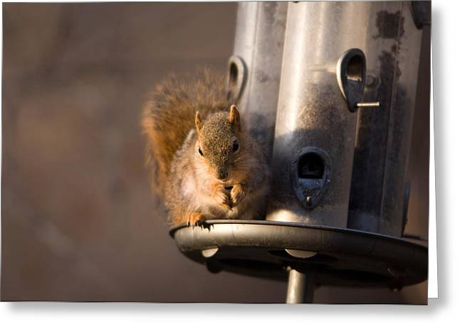 A Fox Squirrel Sciurus Niger Grabs Greeting Card by Joel Sartore