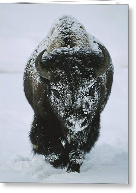 Winter Views Greeting Cards - A Frost-covered American Bison Bull Greeting Card by Tom Murphy