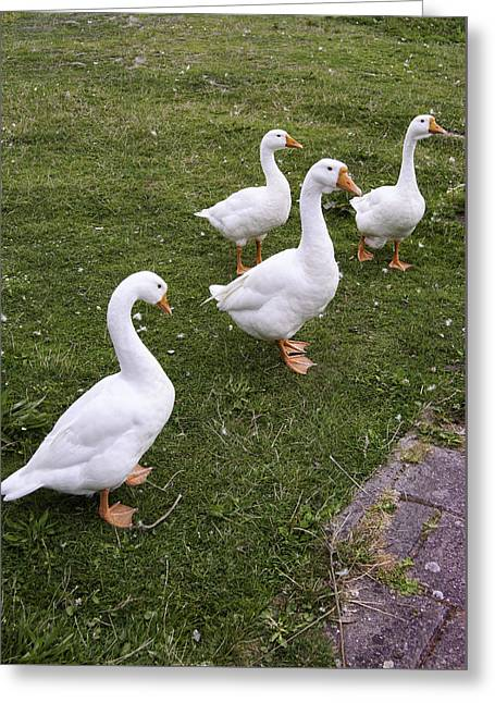A Gaggle Of Geese Greeting Card by Phyllis Taylor