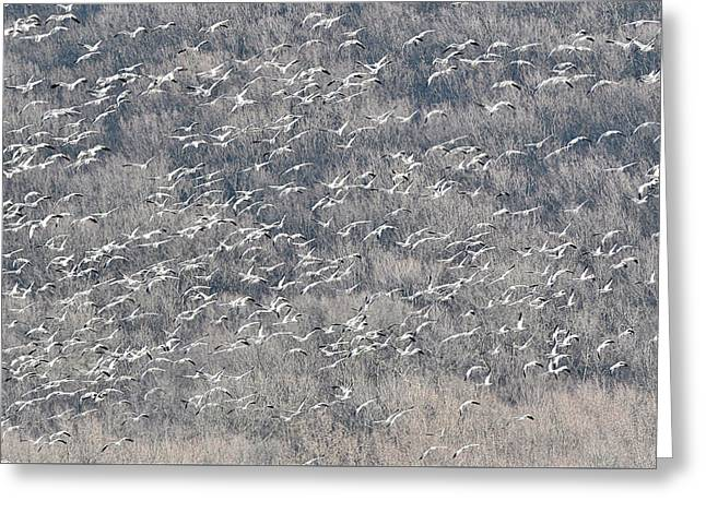 A Gathering Of Snow Geese  Greeting Card by William Jobes