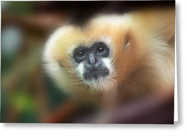 A Gibbon's Stare Greeting Card by Greg Slocum