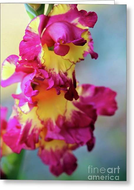 A Gladiolus 3 Greeting Card