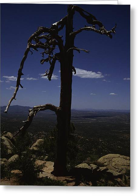 A Gnarled Tree In Arizona Greeting Card by Stacy Gold