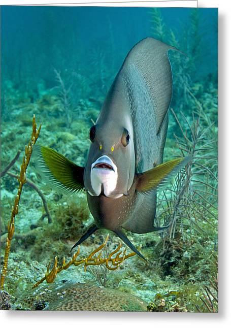 Undersea Photography Photographs Greeting Cards - A Gray Angelfish In The Shallow Waters Greeting Card by Michael Wood