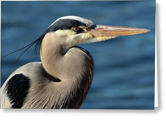 A Great Blue Heron Posing Greeting Card